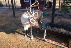 Reindeer at Food